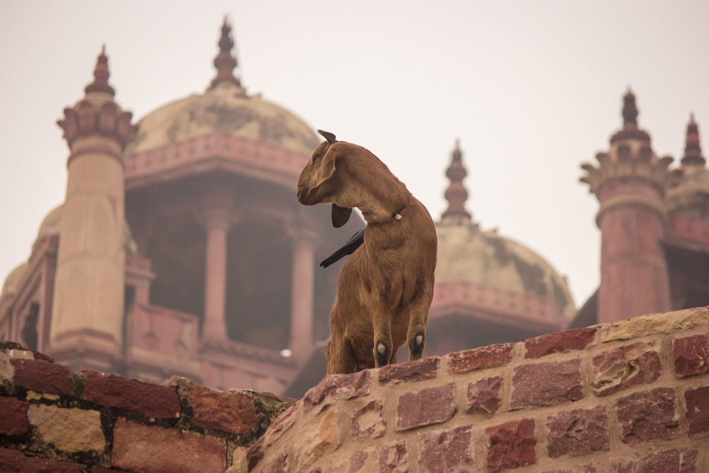 Goat standing on a rooftop at the Fatehpur Sikri in Agra, India.